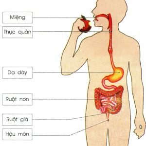 Sinh lý dạ dày hoạt động như nào?