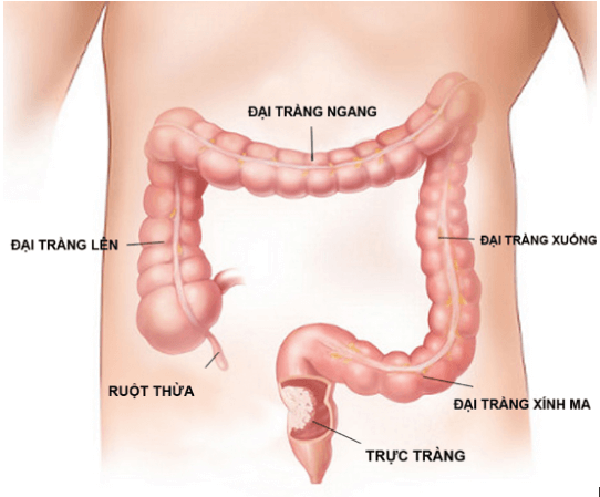 Cấu trúc giải phẫu của đại tràng